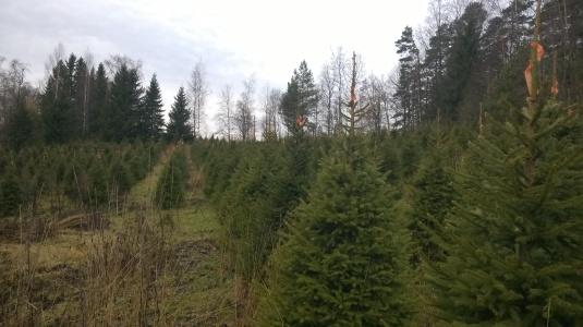 Joulupuita Salon viljelmällä